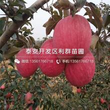 秦冠苹果苗新品种、秦冠苹果苗多少钱一棵图片
