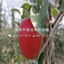 烟富8号苹果树苗图片