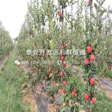 新红星苹果苗、新红星苹果苗批发基地图片