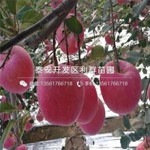黄香蕉苹果树苗批发基地、黄香蕉苹果树苗价格及报价图片