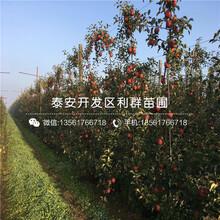 m26苹果树苗多少钱一棵、2019年m26苹果树苗价格图片
