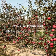 烟富八号苹果树苗批发、烟富八号苹果树苗多少钱一棵图片