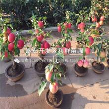 神富六号苹果树苗出售、神富六号苹果树苗价格图片