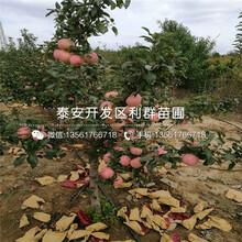 山东秦冠苹果树苗、秦冠苹果树苗价格图片