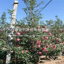 蜜脆苹果树苗品种介绍、蜜脆苹果树苗多少钱一棵图片