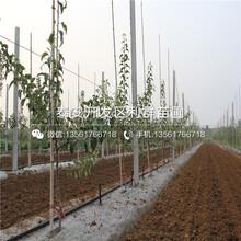 国光苹果苗出售、国光苹果苗价格图片