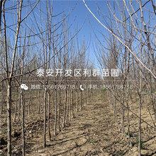 m9t337苹果树苗批发价格、m9t337苹果树苗多少钱一棵图片