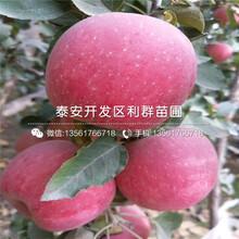 山东矮化苹果树苗、山东矮化苹果树苗批发图片