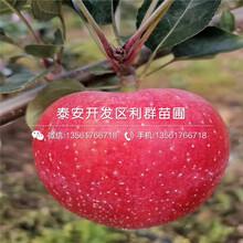 山东黑苹果树苗、山东黑苹果树苗批发图片