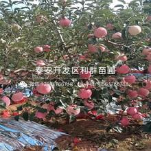 m9t337苹果树苗出售、m9t337苹果树苗价格图片
