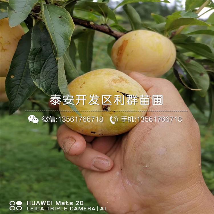 新品种李子苗价格、新品种李子苗批发