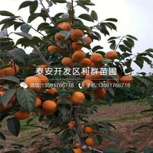 日本甜柿苗、日本甜柿苗价格及报价图片