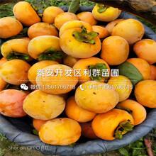 哪里有太秋柿子树苗批发、太秋柿子树苗多少钱一棵图片