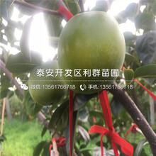 新品种富有甜柿苗、富有甜柿苗多少钱一棵图片