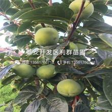罗田甜柿子苗新品种、罗田甜柿子苗多少钱一棵图片