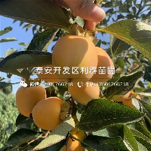宝盖柿子树苗报价、宝盖柿子树苗价格及报价图片