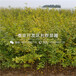 蒙陽紅石榴樹苗、蒙陽紅石榴樹苗批發價格