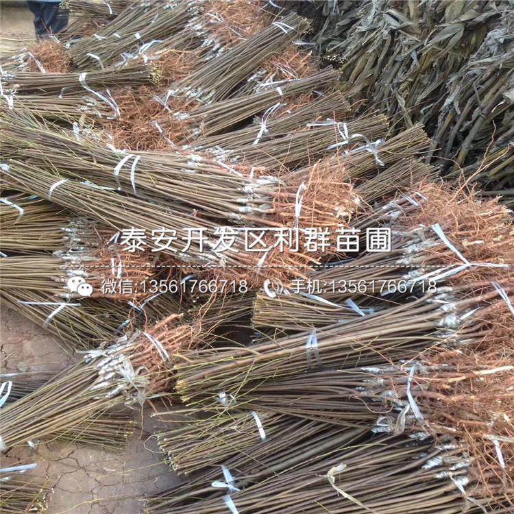 茵紅李子苗品種、茵紅李子苗價格及報價