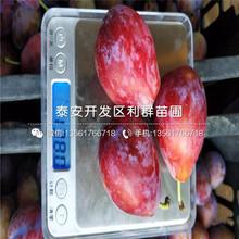 2公分紅肉李子樹苗、2公分紅肉李子樹苗價格圖片