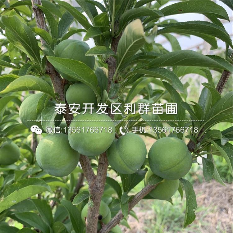 新品种红喜梅李子树苗、新品种红喜梅李子树苗价格
