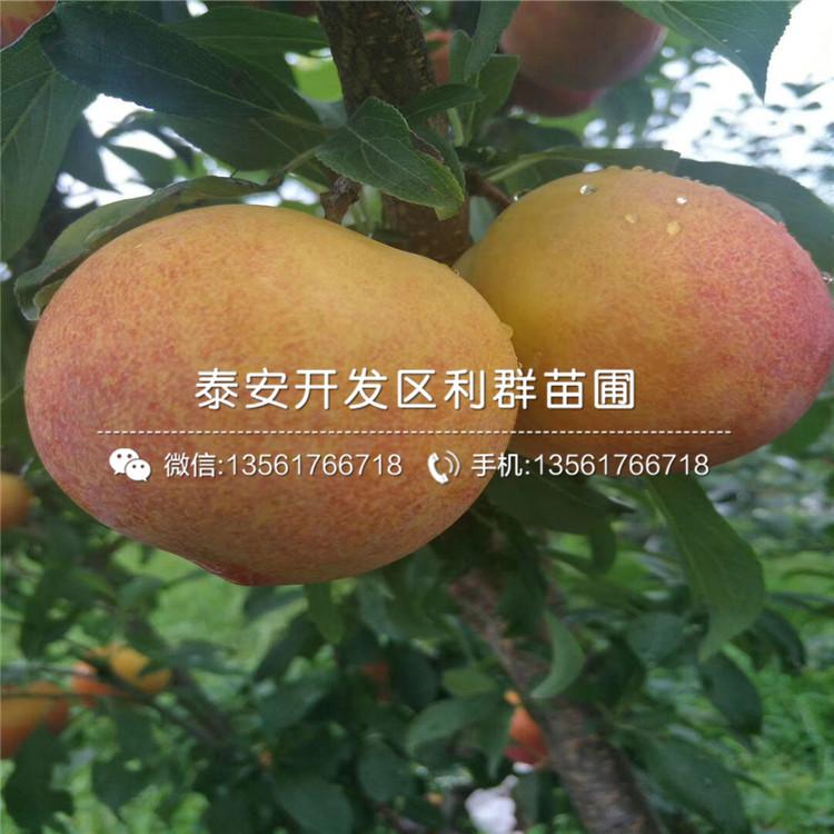 新品種李子樹苗批發、新品種李子樹苗價格及報價