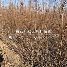 紅玉杏樹苗新品種圖片