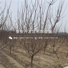 紅玉杏樹苗、紅玉杏樹苗出售基地圖片