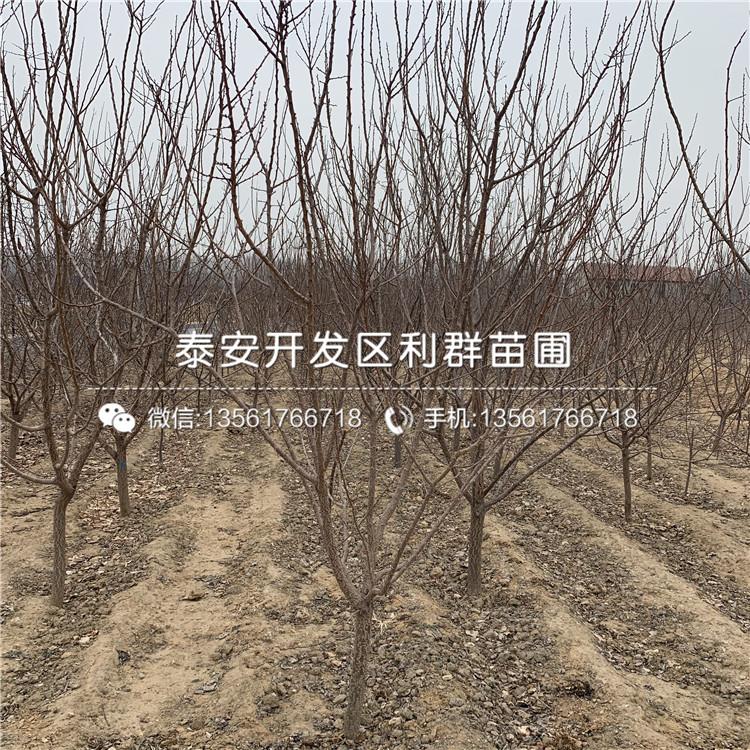 【1公分杏树苗、1公分杏树苗价格及基地】- 黄页88网