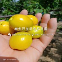 蜜香杏樹苗價格圖片