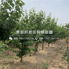 荷蘭香蜜杏苗新品種、荷蘭香蜜杏苗價格及基地圖片