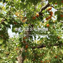 山東2公分杏樹苗出售圖片