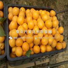 蜜香杏樹苗批發價格、蜜香杏樹苗批發基地圖片