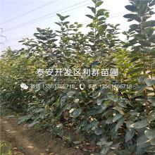 5公分莲花柿子苗、5公分莲花柿子苗价格图片