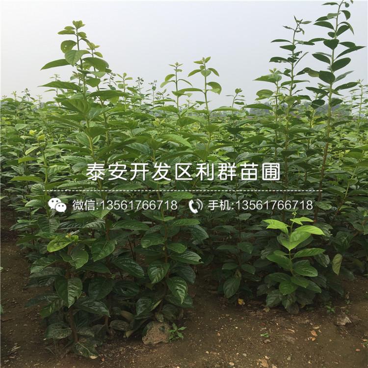 次郞柿子树苗、次郞柿子树苗新品种