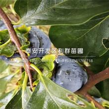 出售太秋甜柿子树苗、太秋甜柿子树苗价格图片
