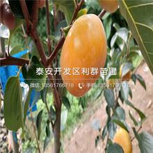宝盖柿子苗批发基地图片