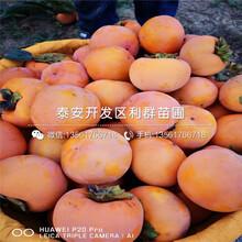 斤柿子苗出售、斤柿子苗价格及报价图片