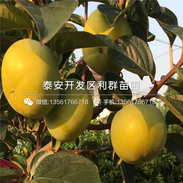 山東次郎甜柿苗價格及報價