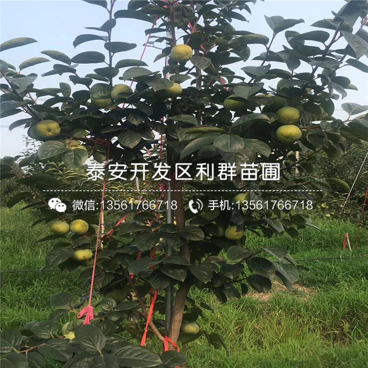 3公分2公分柿子樹苗、3公分2公分柿子樹苗價格