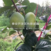 涩柿子苗出售基地图片
