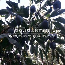 日本甜柿树苗价格、日本甜柿树苗新品种图片