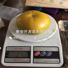 脆甜柿树苗价格、脆甜柿树苗新品种图片