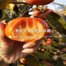 山东胎里红柿子树苗批发图片