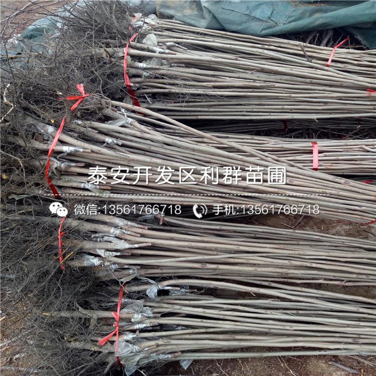 太秋柿子苗品种