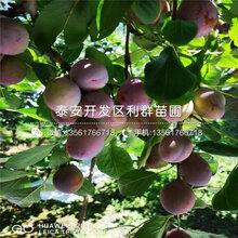 山(shan)東巨型黑李子樹(shu)苗、巨型黑李子樹(shu)苗基(ji)地圖片
