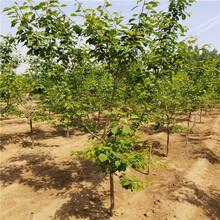 批发出售杏树苗、批发出售杏树苗价格及基地图片
