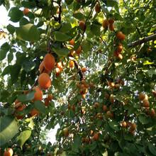 蜜香杏苗图片