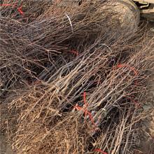 短枝矮化棗樹苗、短枝矮化棗樹苗出售基地圖片