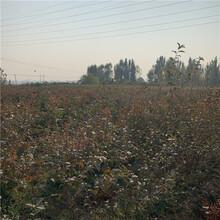 雙豐藍莓樹苗、雙豐藍莓樹苗價位圖片