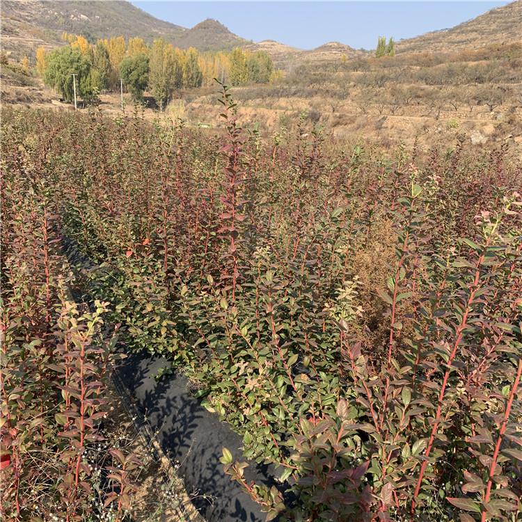 蓝光蓝莓苗品种介绍、蓝光蓝莓苗基地及价格